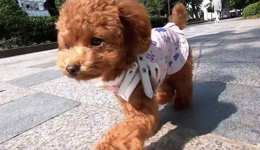 犬目線で見た時のてくてく歩くかわいい映像とその撮影方法