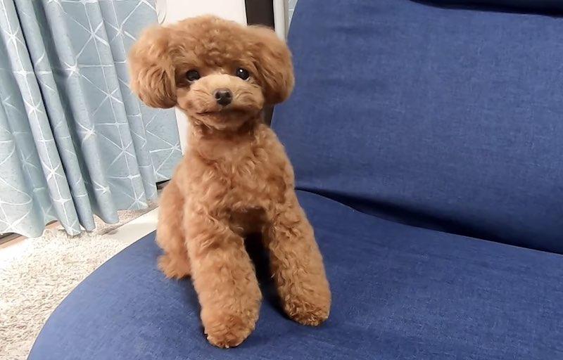 テディベアカットが似合う犬の毛質