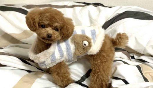 愛犬トイプードルのかわいい仕草・表情まとめ【動画付き】