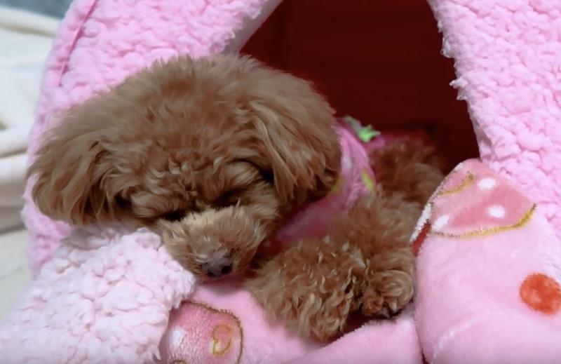 小型犬おすすめ犬グッズのペットハウス