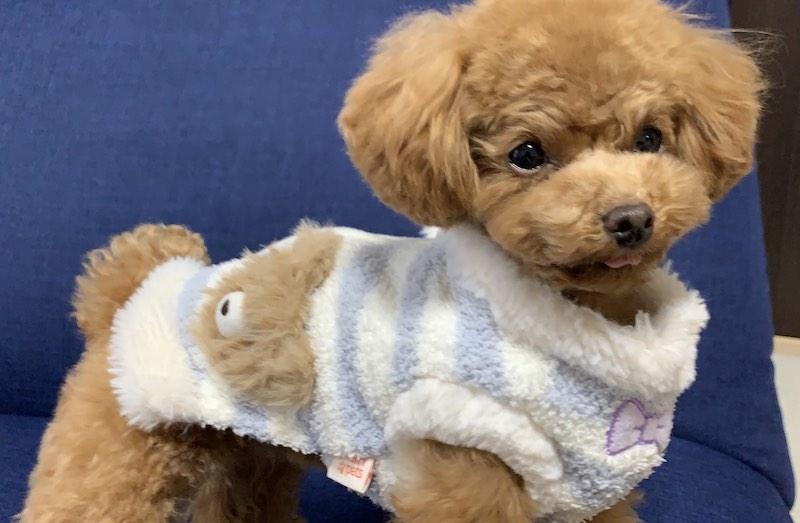小型犬のオススメ犬グッズ(洋服)