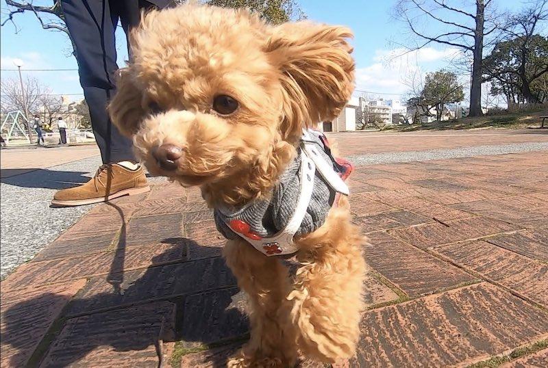 小型犬に必要な犬グッズのバディベルト