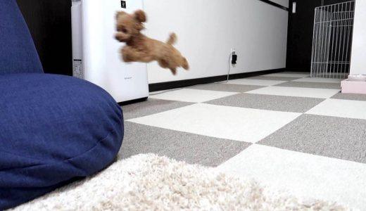 何!?何なの!?犬が驚異的に家中を走り回る8つの謎を解明したい