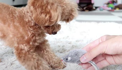 【検証】犬も猫じゃらしで遊ぶのか?猫のおもちゃを試してみた!