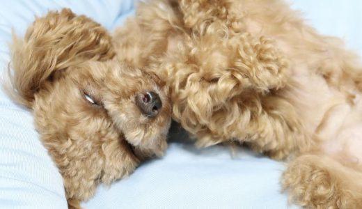 【恐怖】犬の白目|愛犬が白目になる理由が意外とかわいかった2つの理由