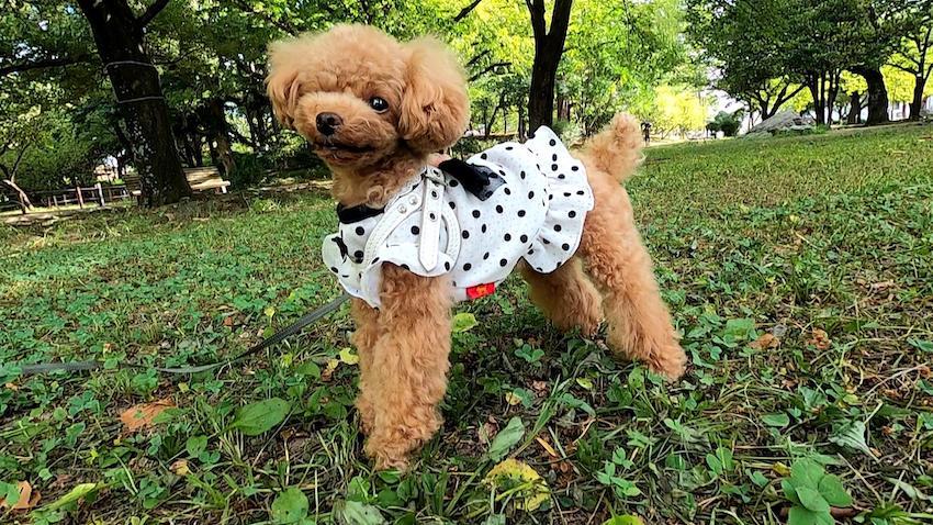 クークチュールの犬服2