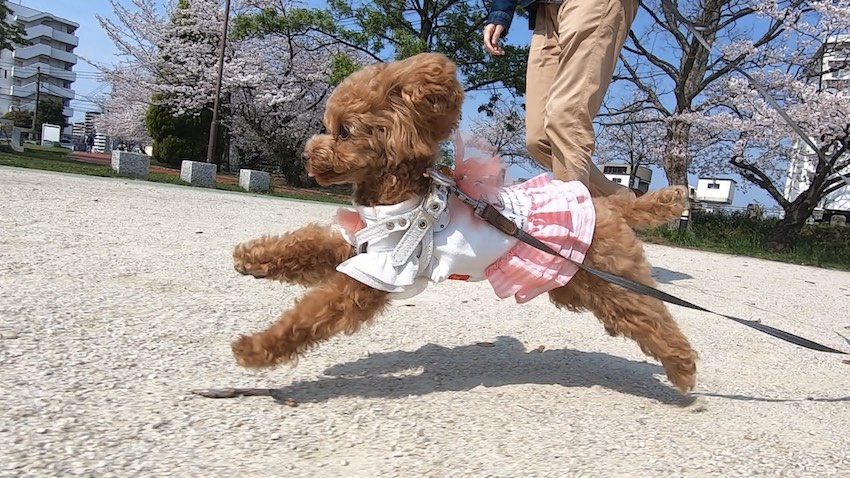 クークチュールの犬服1