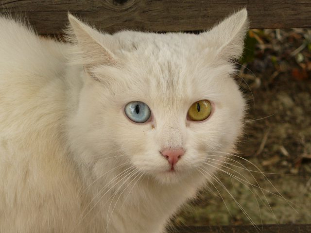 Cat_Briciola_with_pretty_and_different_colour_of_eyes