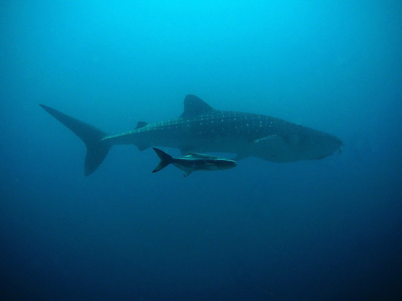 whale shark, kobia, divers