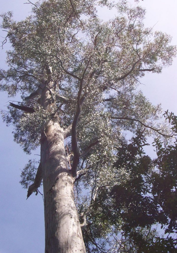 The White Knight Giant Tree Expeditions Tasmania