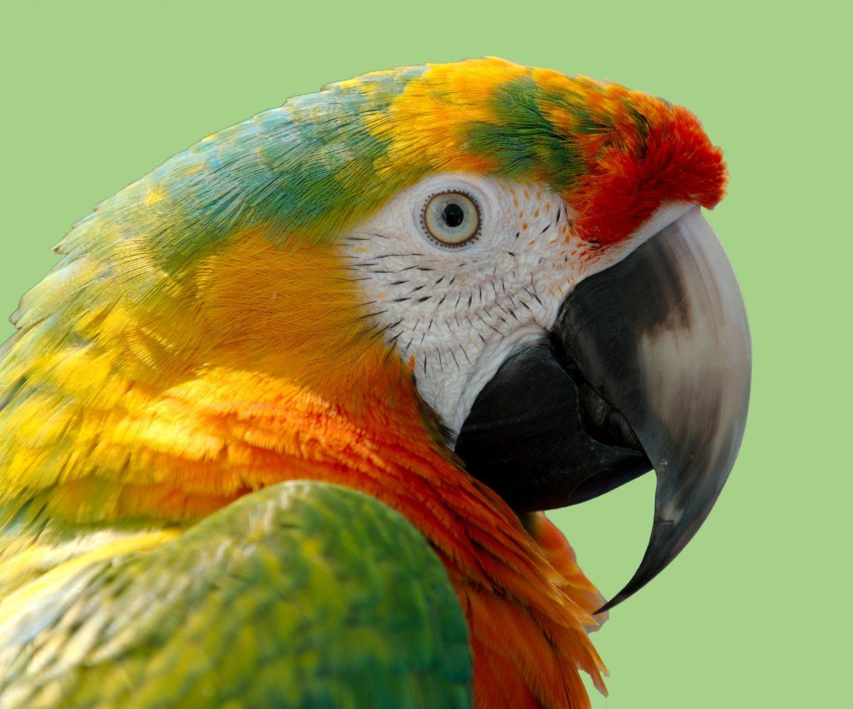 parrot-portrait-14861451230JF