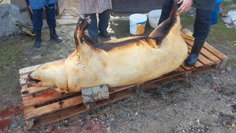 Saubere Paletten und Holzkeile halten das Schwein in Position