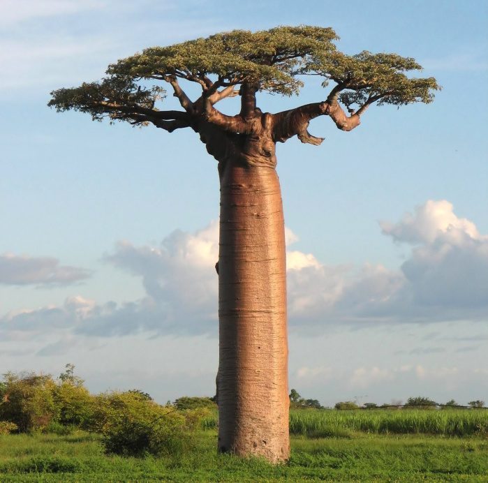 Like No Other - Adansonia