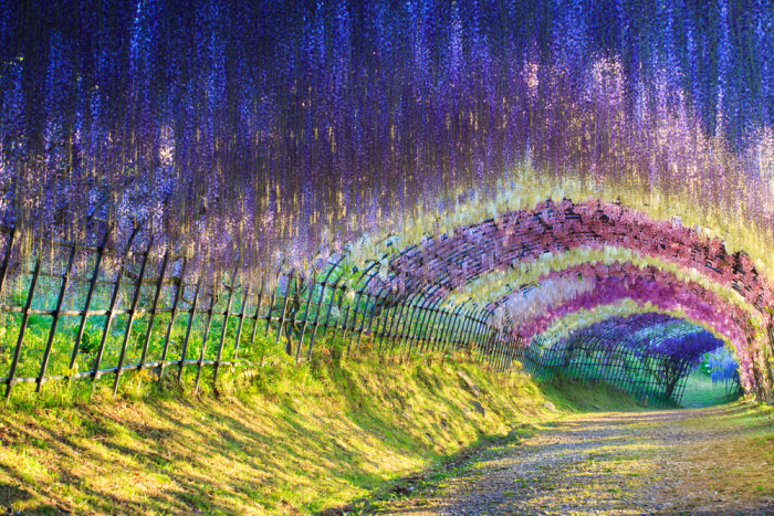 Like No Other - Kawachi Wisteria Tunnell