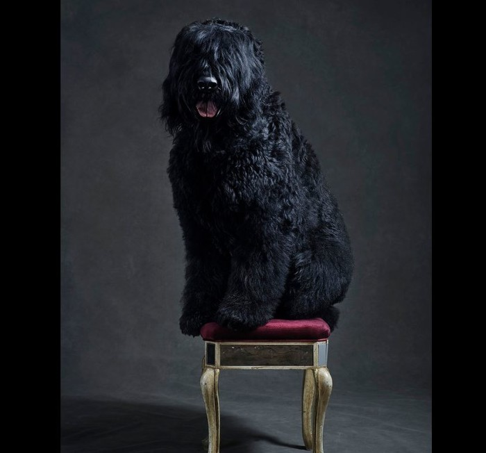 Westminster Kennel Club Dog Show 2015 4