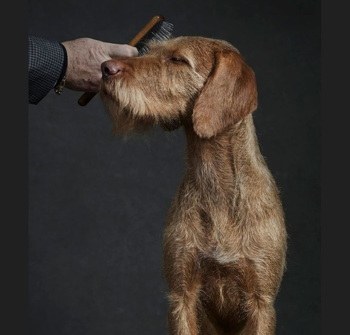 Westminster Kennel Club Dog Show 2015 5
