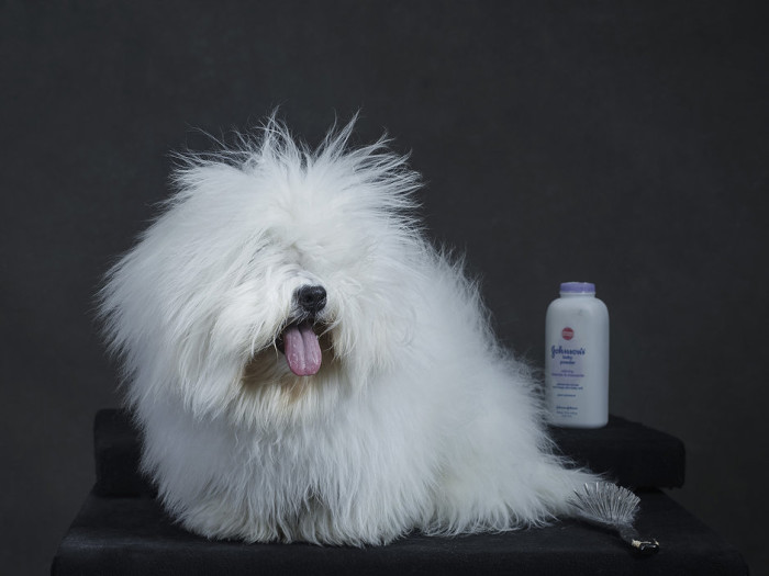Westminster Kennel Club Dog Show 2015 6