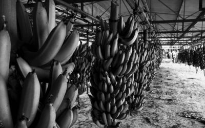 How to Incorporate a Banana Export Company in Ecuador?