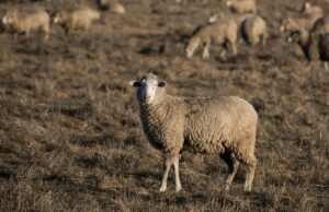 oveja importada de Nueva a México