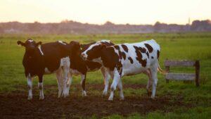 vacas importadas de nueva zelanda a mexico