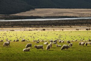 Sheep on a farm in New Zealand