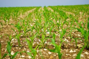 Cornfield agriculture