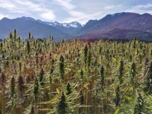 Soils for cannabis in Ecuador