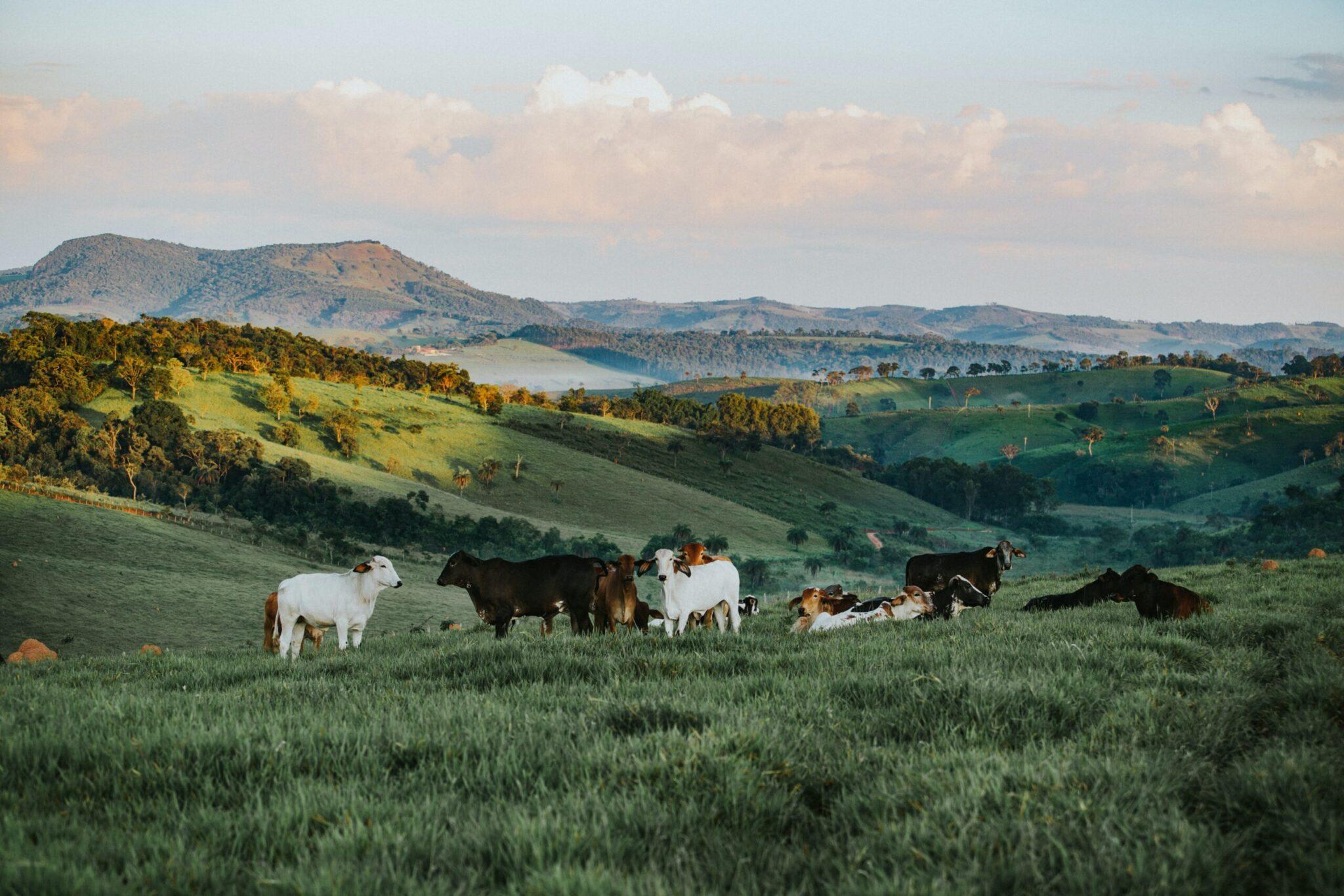 gado, negócio que emergiu das Relações Comerciais entre Rússia e Brasil