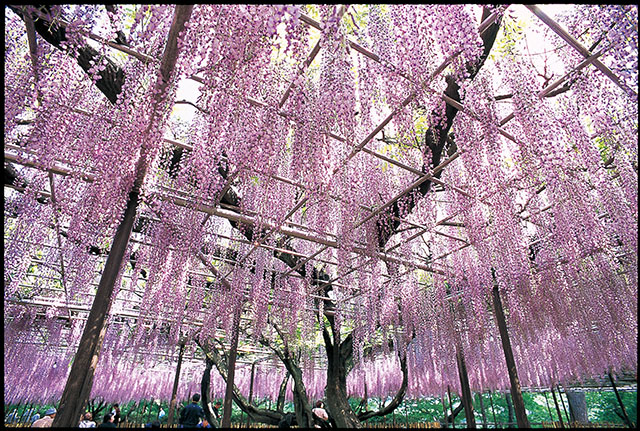 日本中部名古屋旅遊_夏季岡崎公園五萬石藤花節
