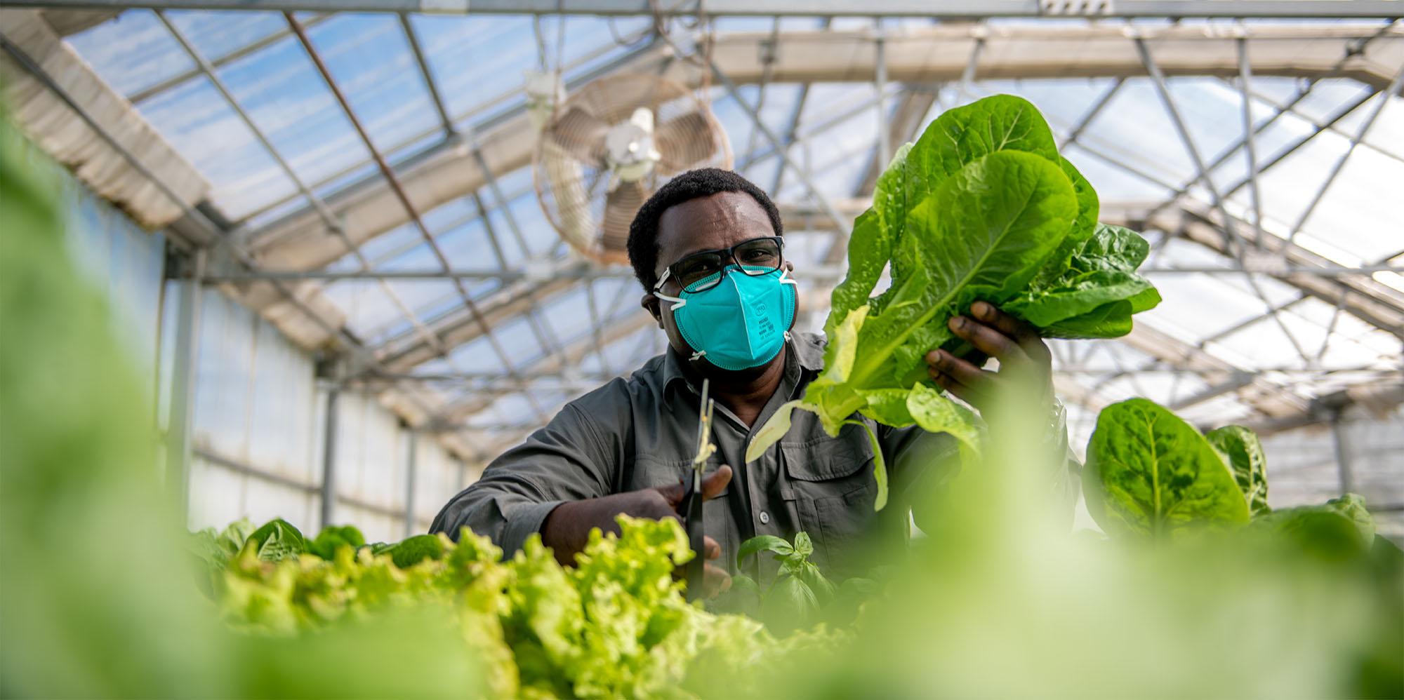 M21063- Greenhouse, Lettuce Harvesting-6951