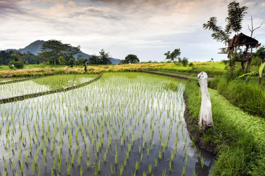 Researchers Successfully Use Rice Fields to Generate Clean Electricity