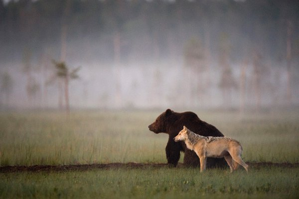Video: Wolves Brought Into Yellowstone Park – Nobody Expected This Would Be The Outcome