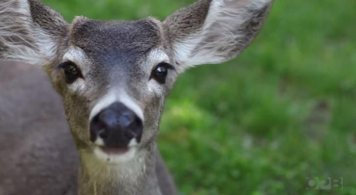 Meet 'Sugar Bob' – The Cannabis Eating Deer