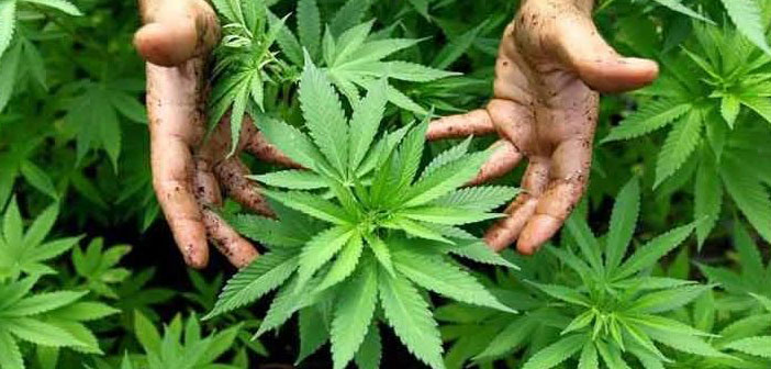 20 Medical Studies That Show Cannabis Can Be A Potential Cure For Cancer