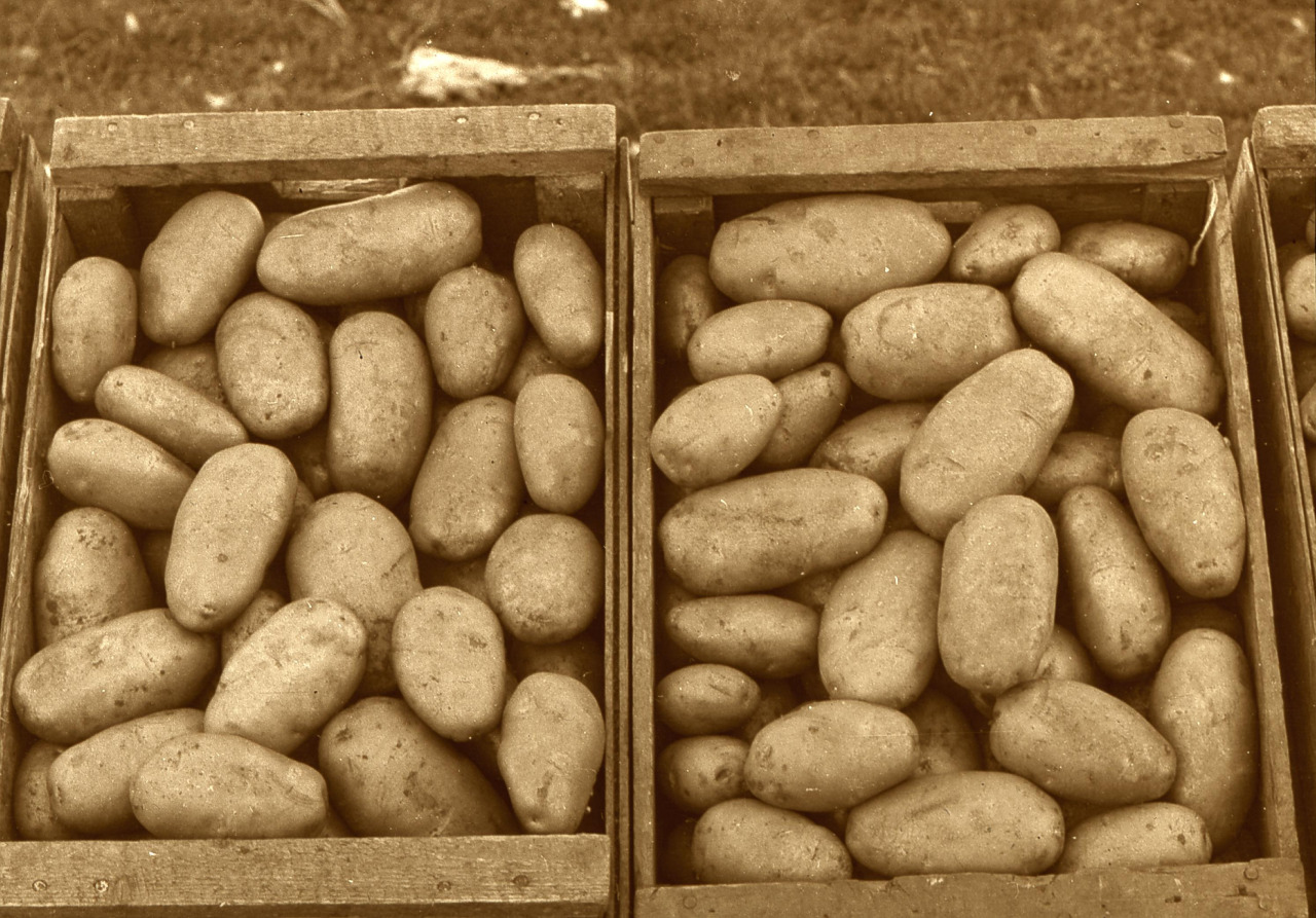 When and How to Plant Potatoes