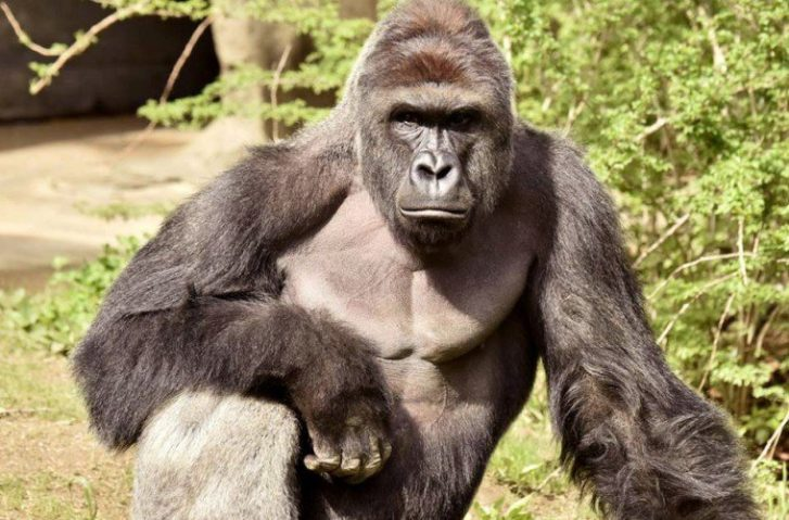 The Important Truth About Harambe The Gorilla Nobody Is Talking About