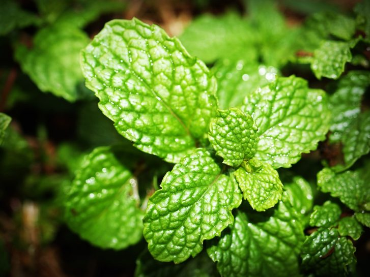 Spearmint Can Significantly Improve Memory, Concentration, and Brain Function