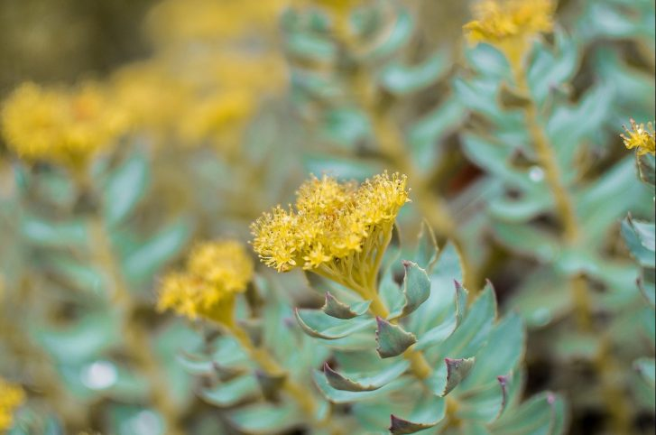 Rhodiola Defeats Chronic Fatigue in Just One Week
