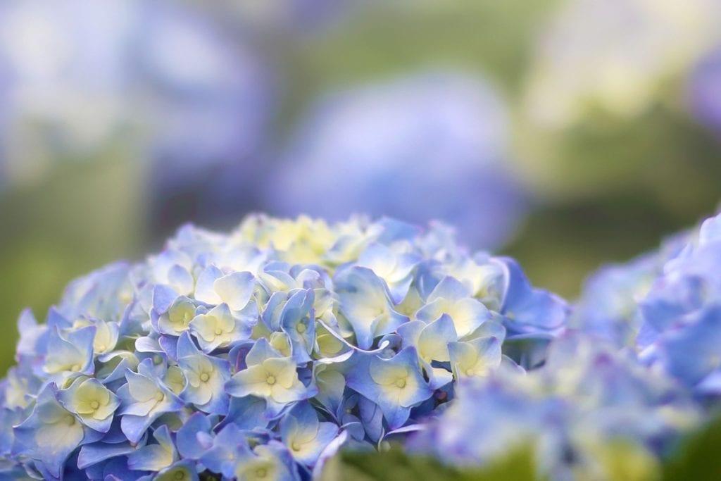 美麗的繡球花總是民眾注目的集點。(圖/臺北市產業局提供)