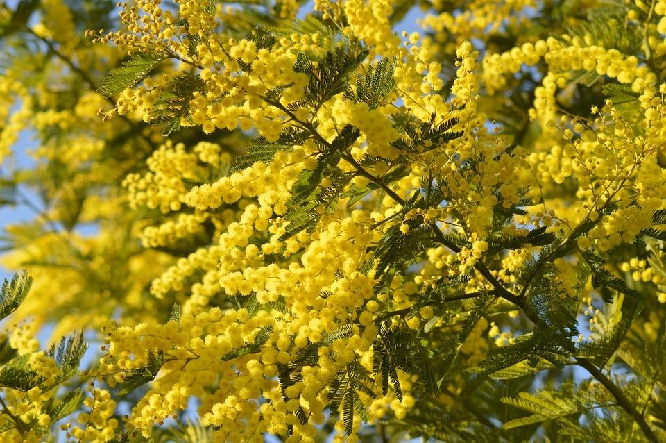 ANUNCIOU O MINISTROICNF já limpou 327 hectares de mimosas no Parque Nacional da Peneda-Gerês