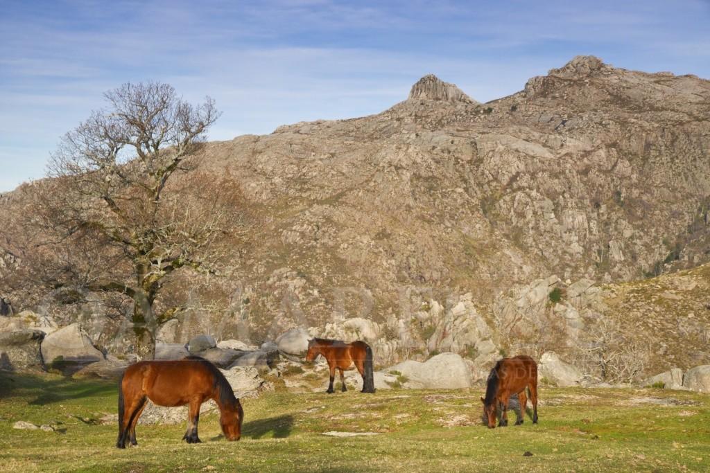 Terras de Bouro - Câmara sorteia três cavalos errantes