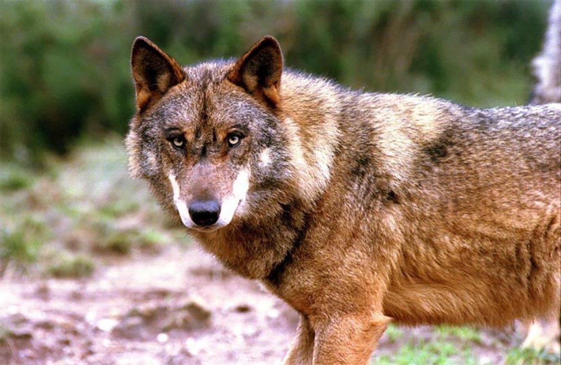 REGIÃO – Pela preservação do lobo ibérico nasce um festival comunitário na Peneda-Gerês