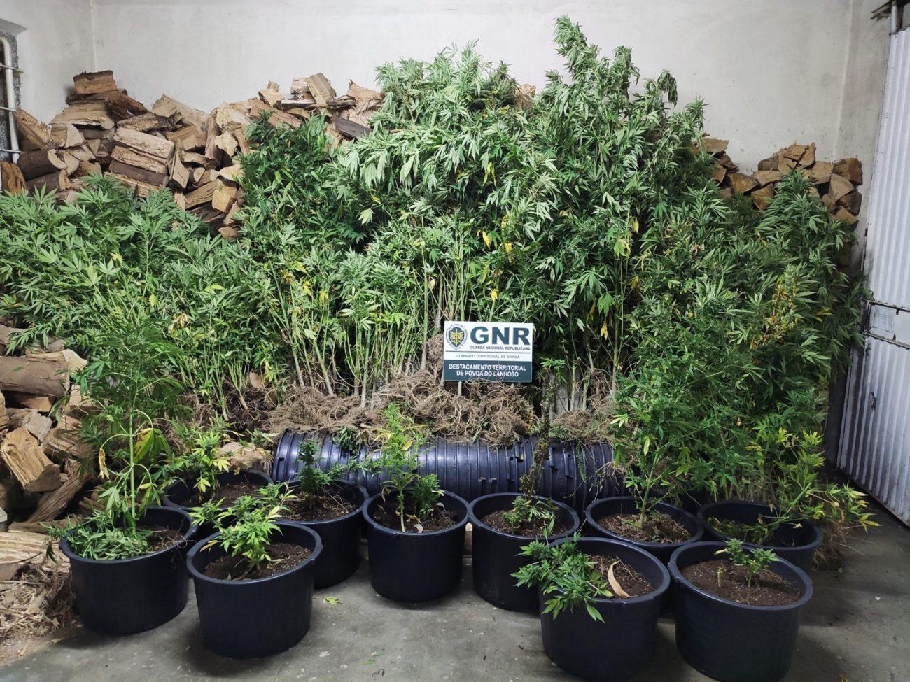 JUSTIÇA – Rectificação. GNR desactiva plantação de cannabis em Vieira do Minho
