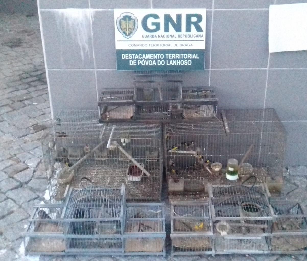 CRIME – GNR recupera 25 pintassilgos e entrega-os ao Centro de Recuperação do Gerês