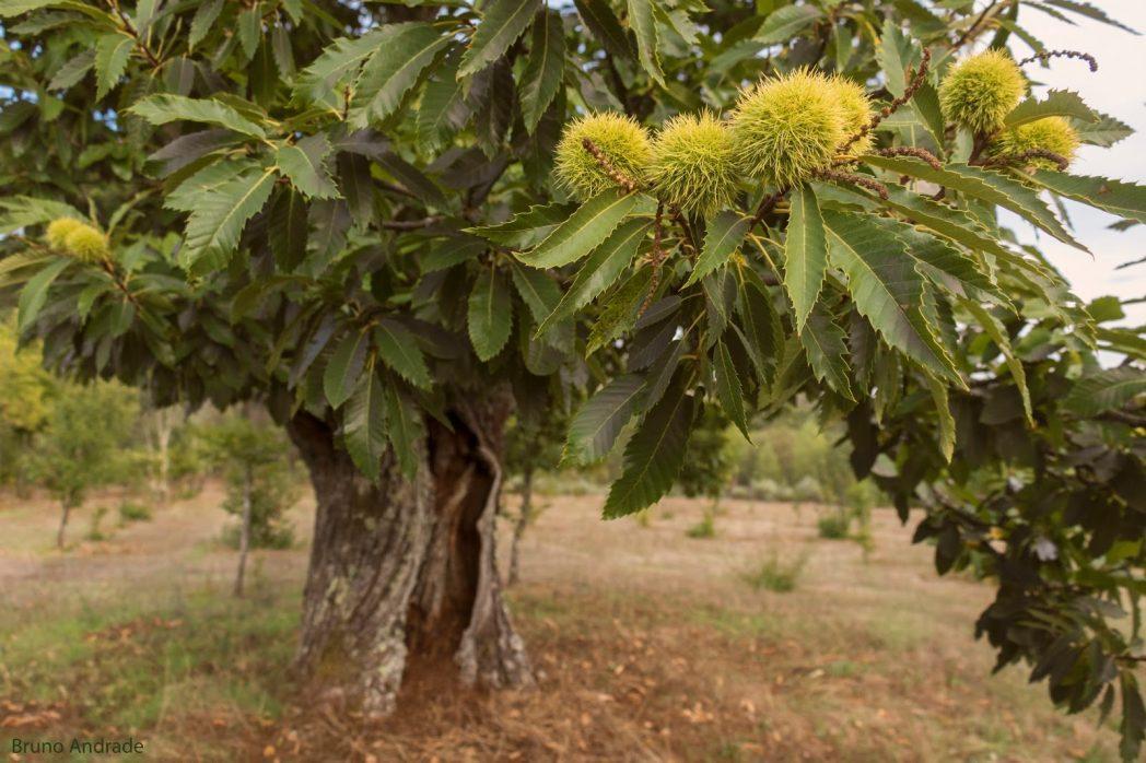 PAÍS – Mais de 40% das espécies de árvores na Europa estão ameaçadas de extinção