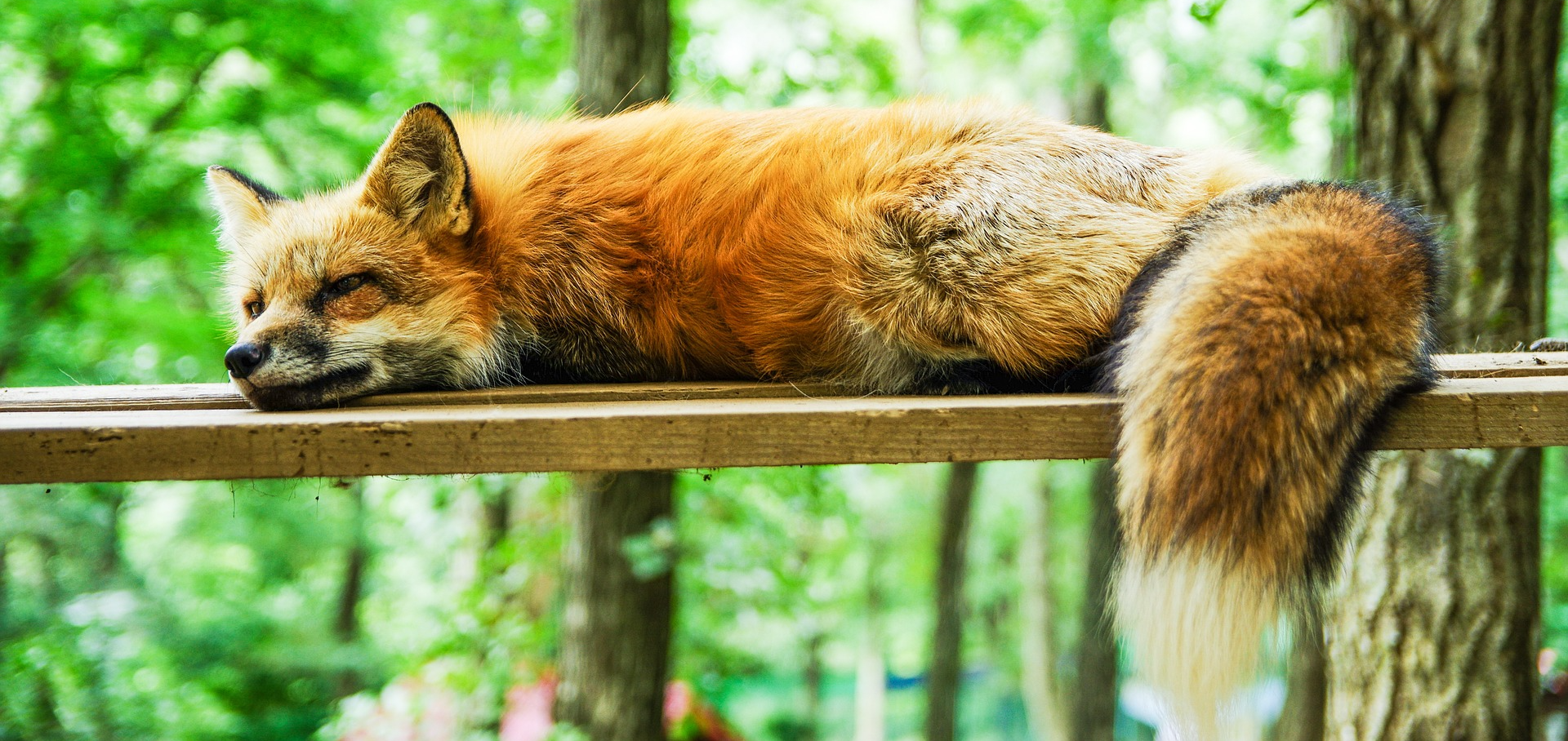 Cute Fox Sleeping