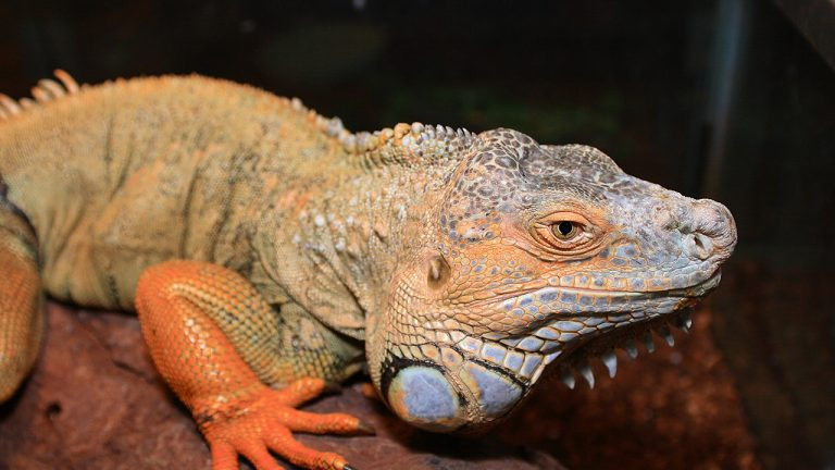 feature-news-green-iguana