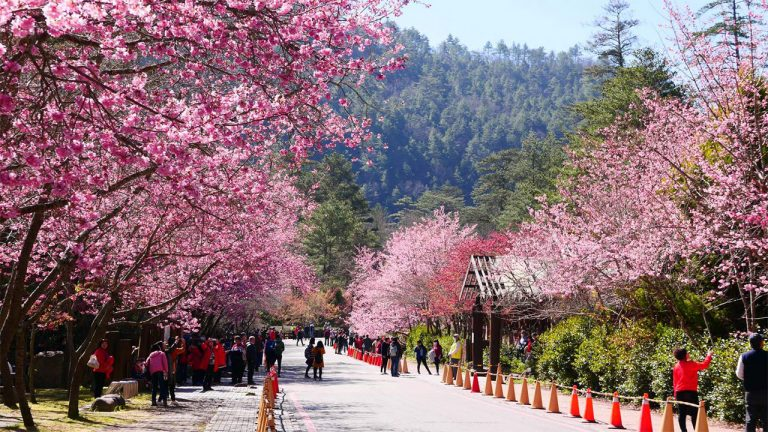 Feature-news-cherry-blossom-viewing-Wuling-Basianshan