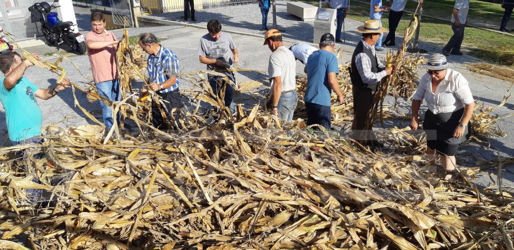 NA ROTA DAS COLHEITAS (Vila Verde) - Oriz S. Miguel revive a tradição com desfolhada, malhada e broa de milho