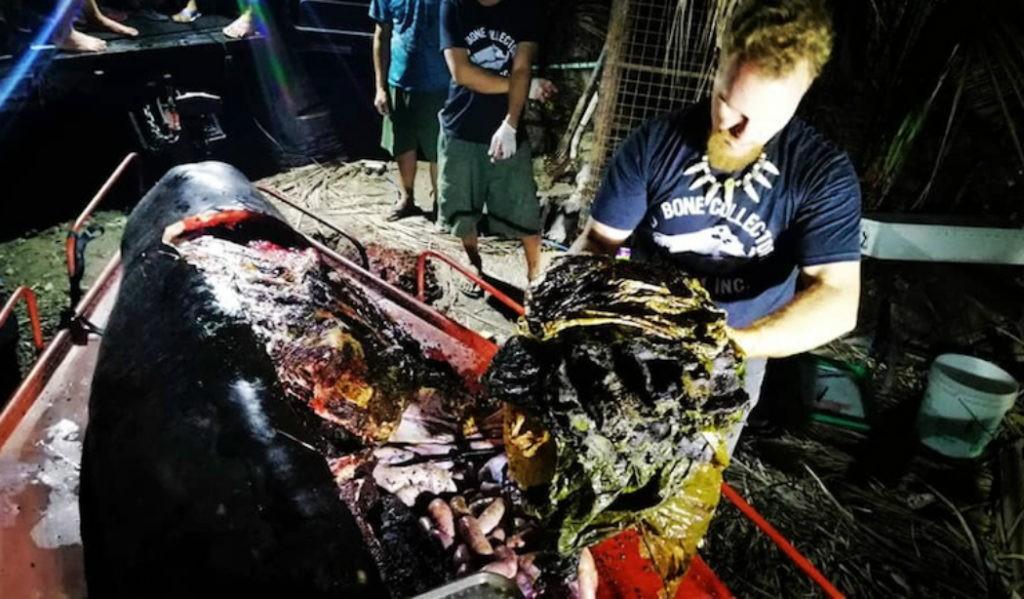 AMBIENTE - Baleia encontrada morta com 40 quilos de plástico no estômago